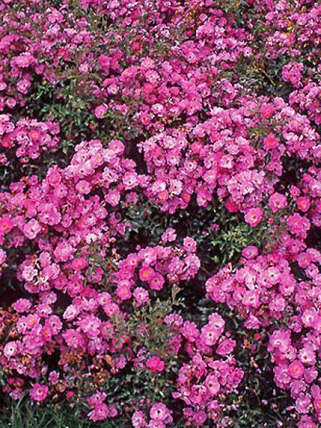 Rosier à fleurs groupées 'Neon'