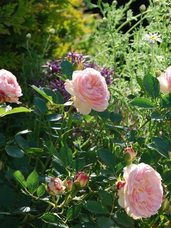 rosier fleurs group es 39 pastella 39 rosa floribunda le jardin du pic vert. Black Bedroom Furniture Sets. Home Design Ideas