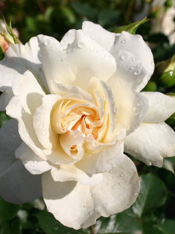 Rosier à fleurs groupées 'Petticoat'