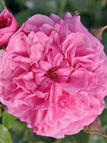 Rosier à fleurs groupées 'Pink Swany'