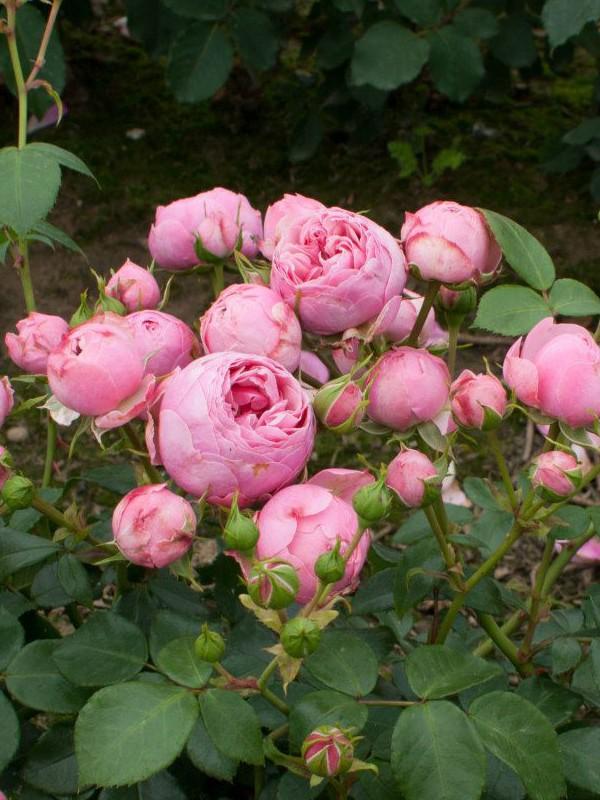 Rosier à fleurs groupées 'Pomponella'