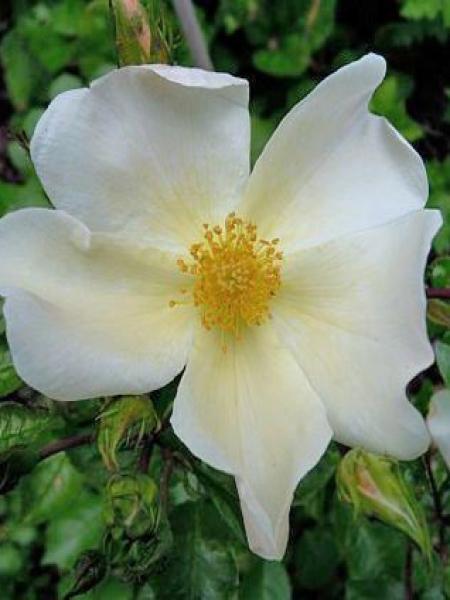 Rosier à fleurs groupées 'Pretty Snow'®