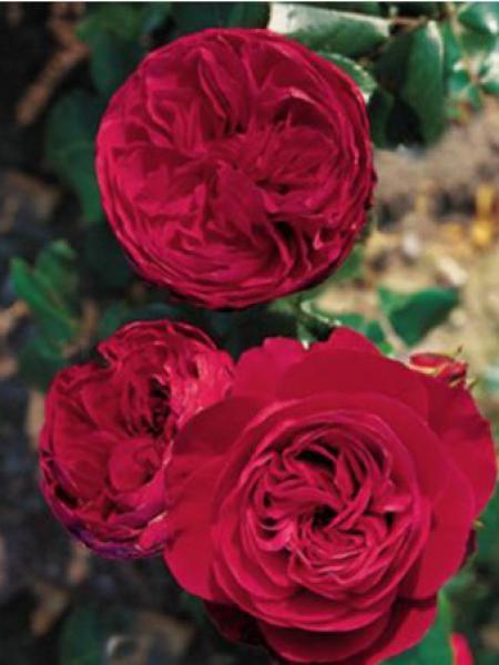 rosier fleurs group es 39 red leonardo da vinci 39 rosa floribunda le jardin du pic vert. Black Bedroom Furniture Sets. Home Design Ideas