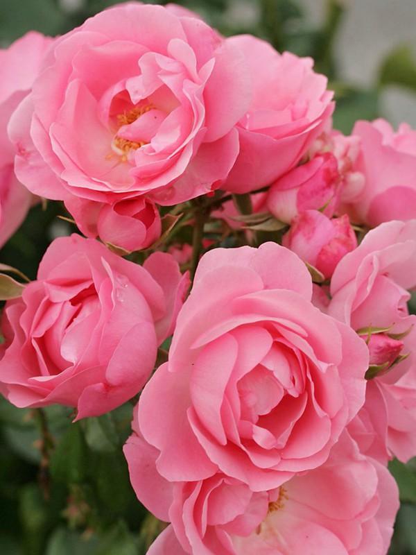 Rosier à fleurs groupées 'Rosenprofessor Sieber'