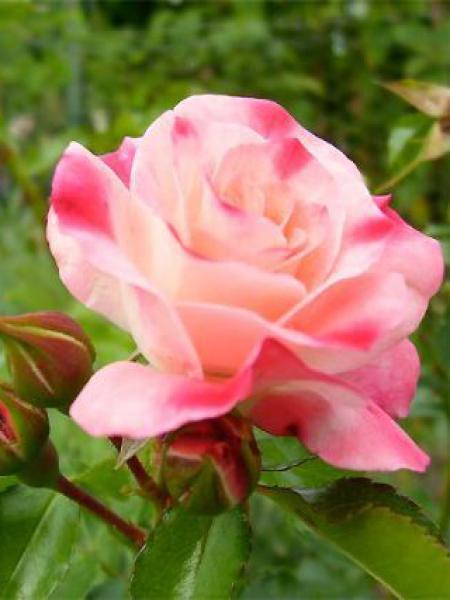 Rosier à fleurs groupées 'Rosenstadt Freising'®
