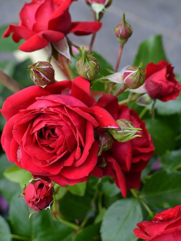 Rosier à fleurs groupées 'Rotkappchen'