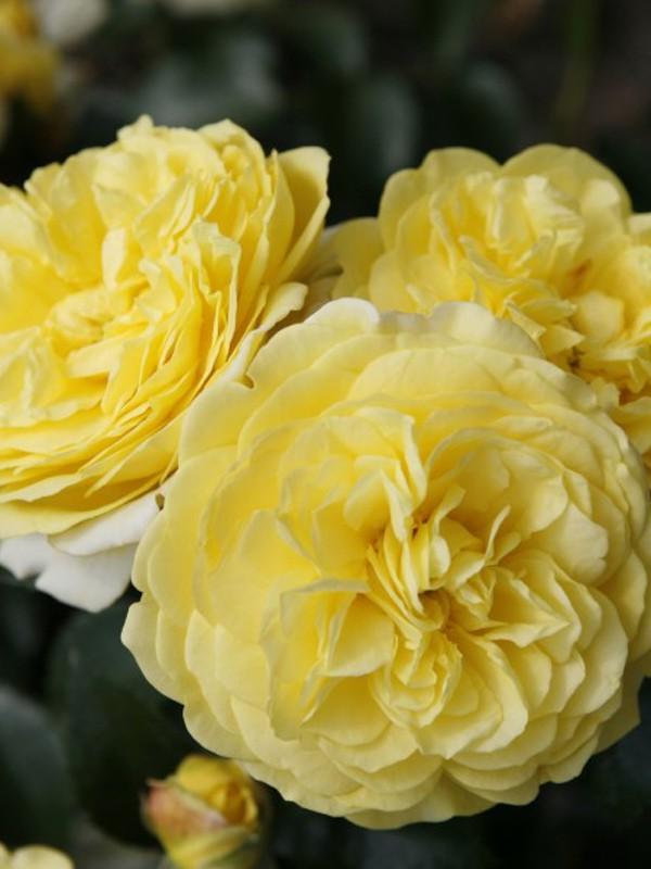 Rosier à fleurs groupées 'Solero'