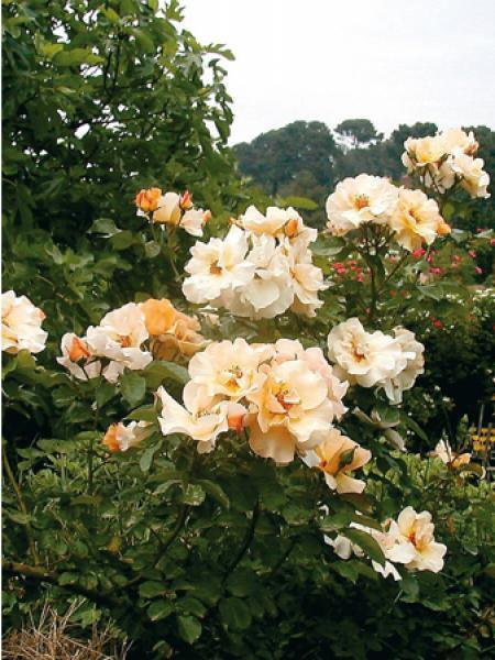 Rosier à fleurs groupées 'Souvenir de Robert Schuman®'