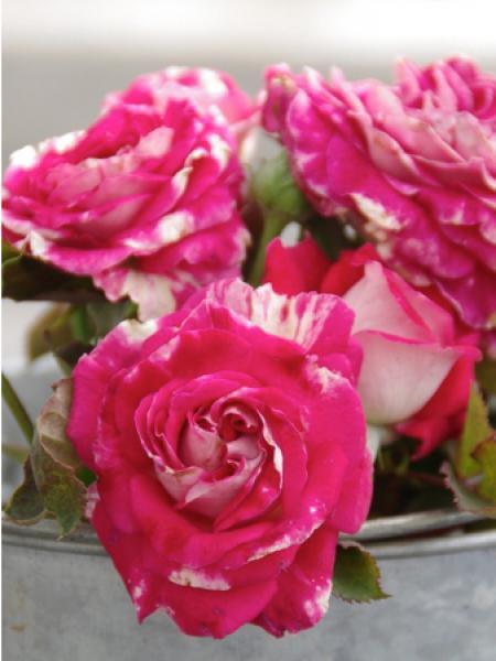 Rosier à massif 'Rose Valland'