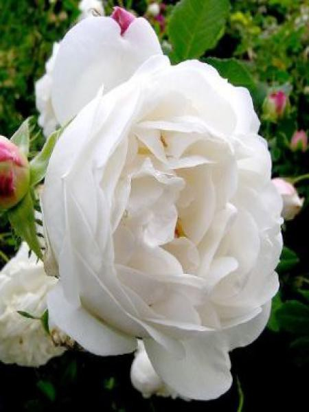 Rosier ancien alba 'Mme Legras de St Germain'