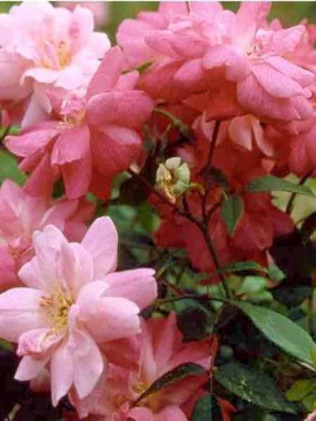 Rosier Ancien De Chine Old Blush Rosa Chinensis Le Jardin Du