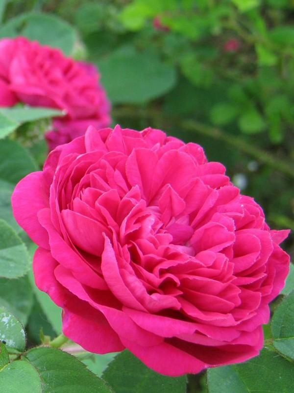 Rosier ancien de Damas 'Rose de Rescht'