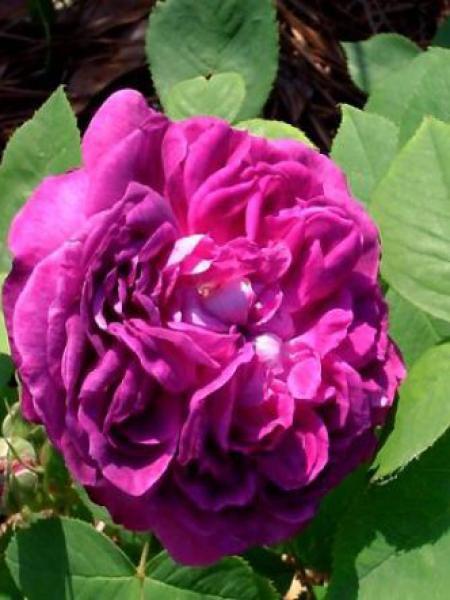 Rosier ancien hybride remontant 'Reine des Violettes'