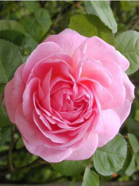 Rosier anglais 'Constance Spry'