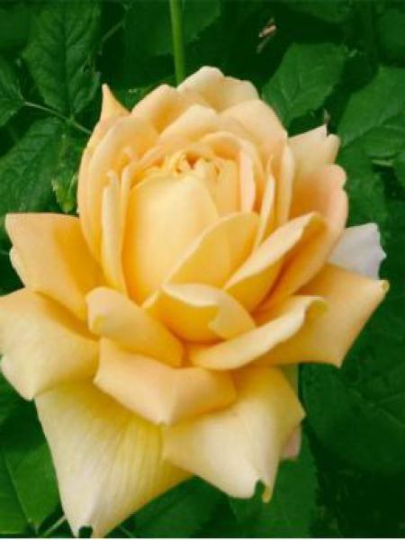 Rosier anglais 'Golden Celebration'
