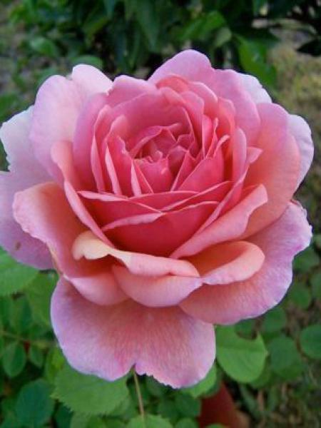 Rosier anglais 'Princess Alexandra'®