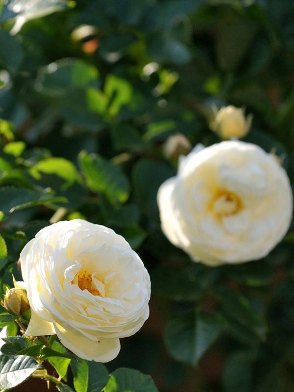 Rosier arbuste 'Artemis'®