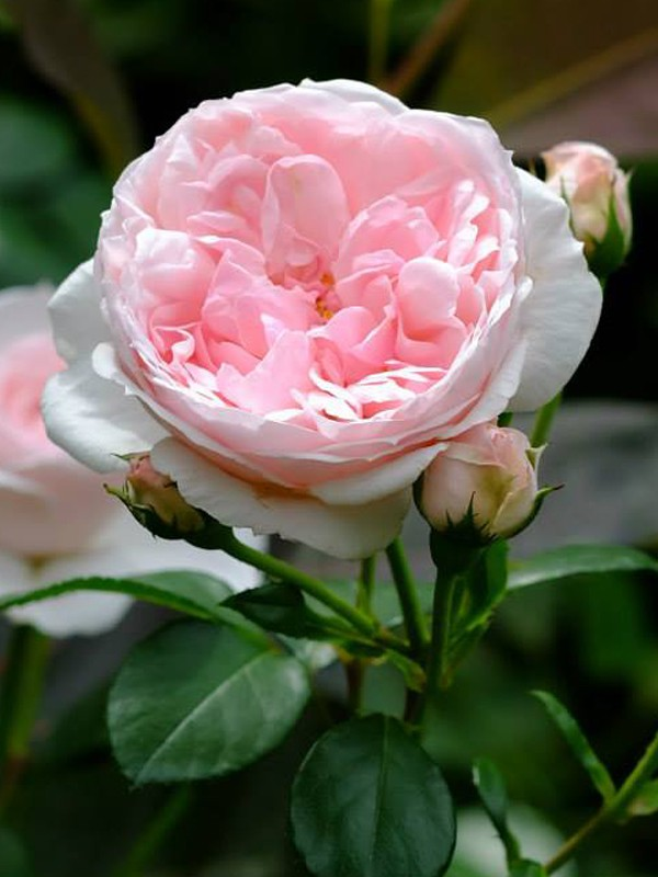 Rosier arbuste 'Cinderella'