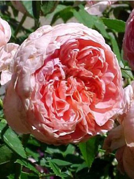 Rosier arbuste 'Colette'