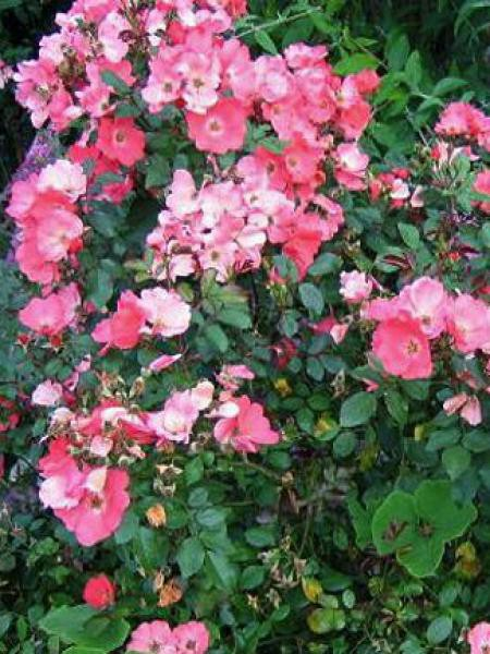 Rosier arbuste 'Douceur Normande'®