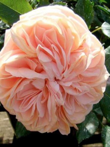 Rosier arbuste 'Garden of Roses'®