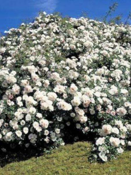 Rosier arbuste 'Ice Meidiland'®