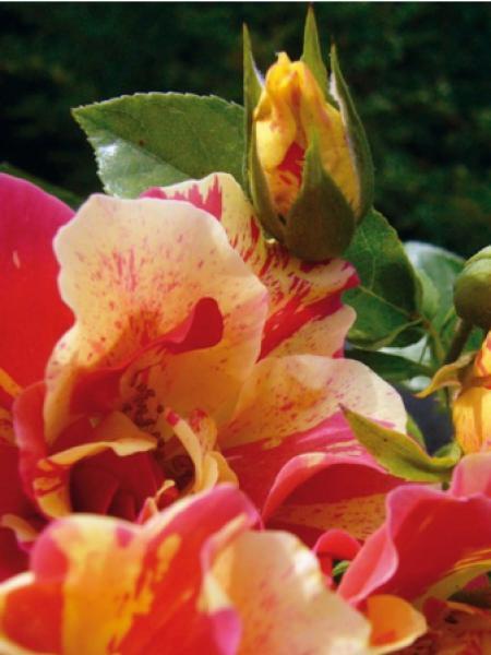 Rosier arbuste 'Jacqueline Farvacques®'