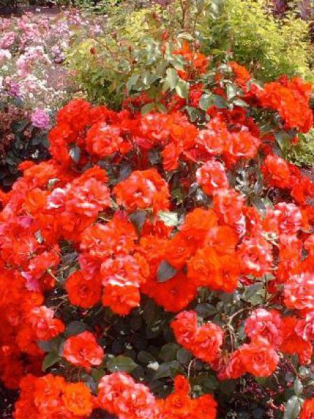 Rosier arbuste 'La Sevillana'