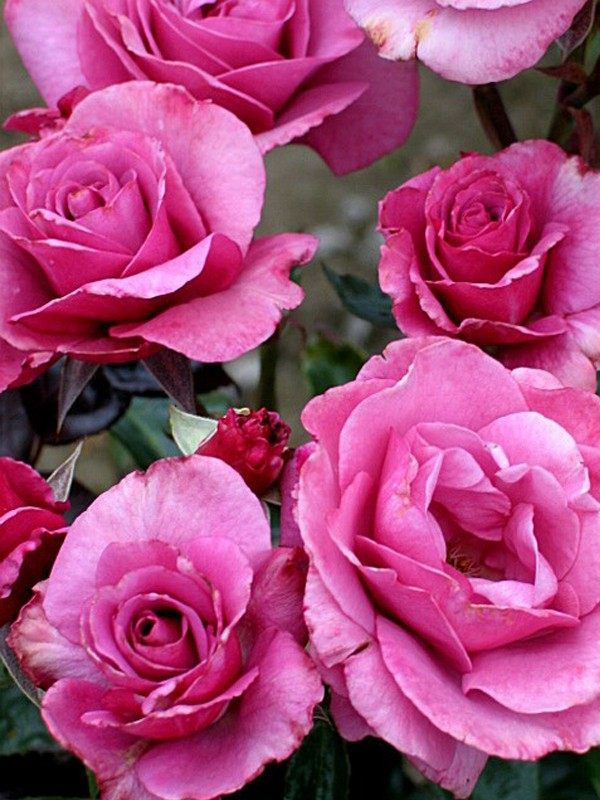 Rosier arbuste 'Love Potion®'