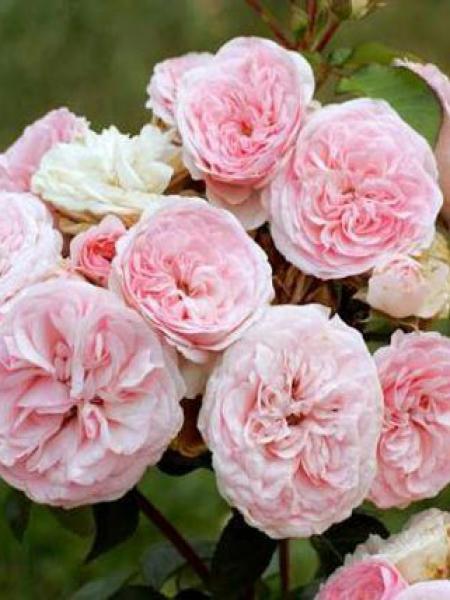 Rosier arbuste 'Maria Theresia'