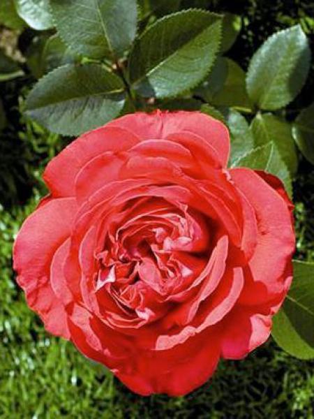 Rosier arbuste 'Marylou'