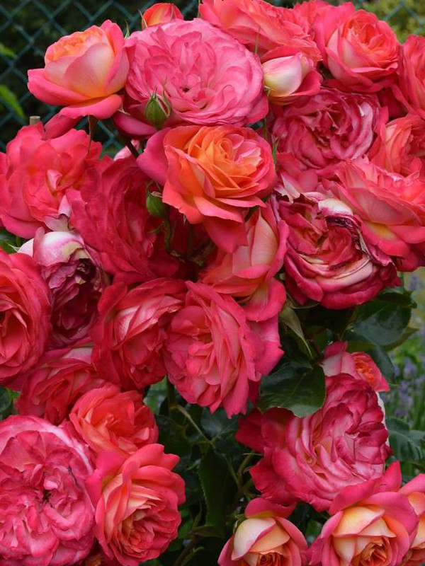 Rosier arbuste 'Midsummer'