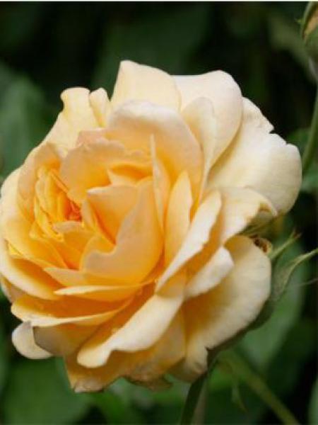 Rosier arbuste moschata 'Buff Beauty'