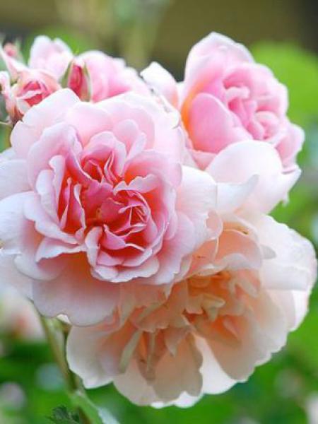 Rosier arbuste moschata 'Felicia'