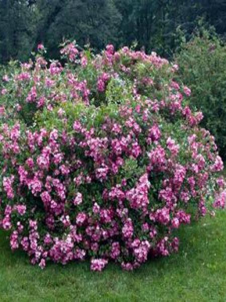 Rosier arbuste moschata 'Mozart'