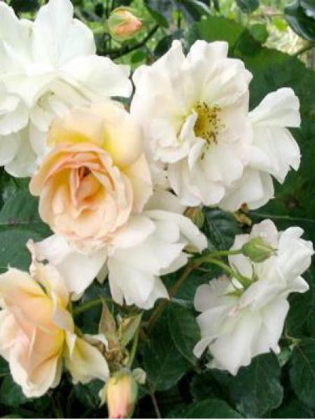 Rosier arbuste moschata 'Penelope'