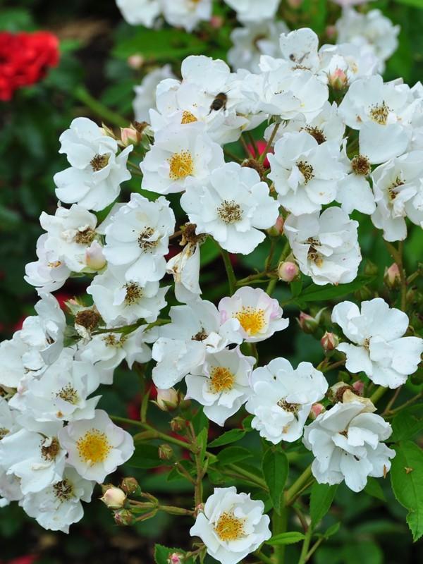 Rosier arbuste moschata 'Poésie'®