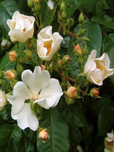 Rosier arbuste moschata 'Rosalita'®