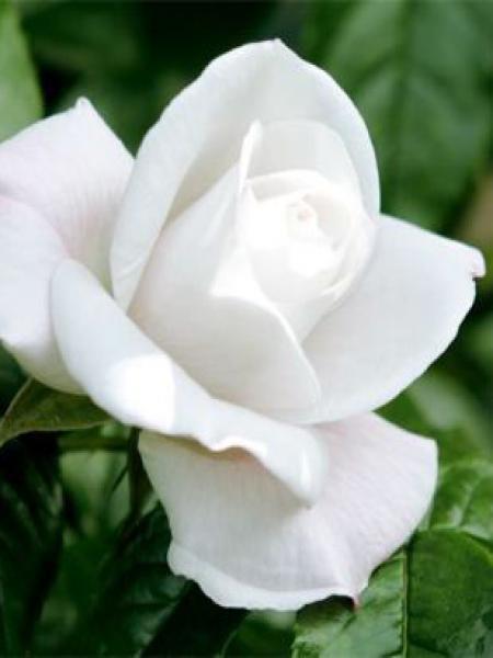 Rosier arbuste 'Pearl Drift'