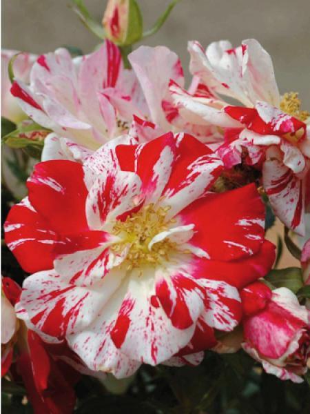 Rosier arbuste 'Philippe Candeloro®'