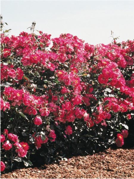 Rosier arbuste 'Purple Simplicity® '