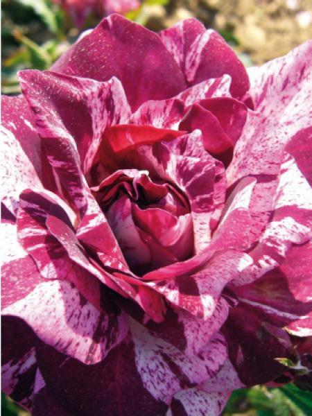 Rosier arbuste 'Purple Tiger®'