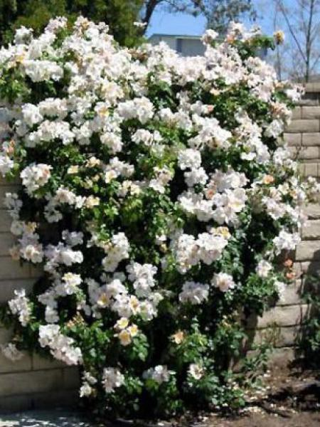 Rosier arbuste 'Sally Holmes'