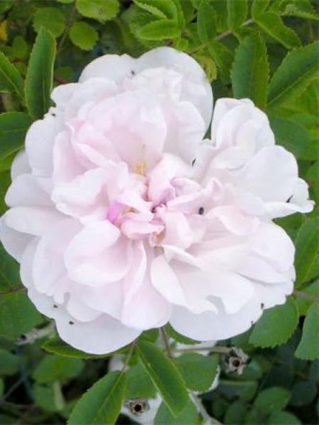 Rosier arbuste 'Stanwell Perpetual'
