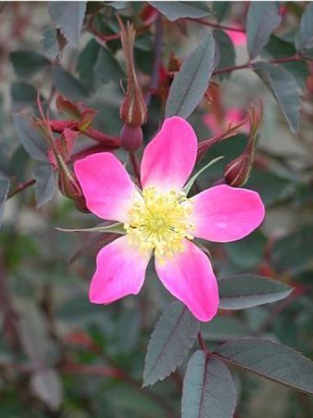 Rosier botanique glauca