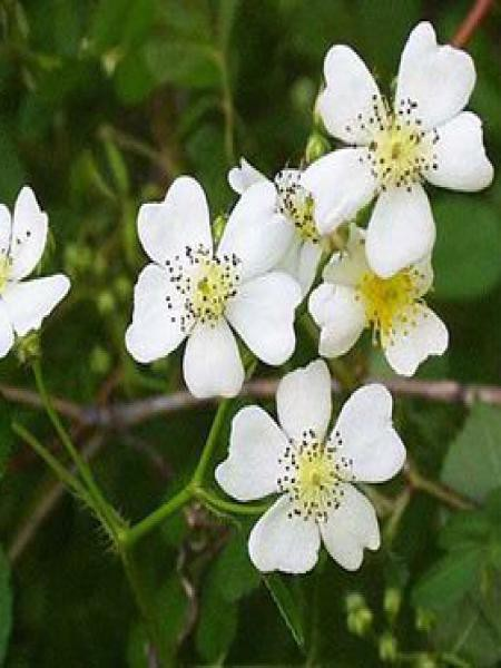 Rosier botanique multiflora