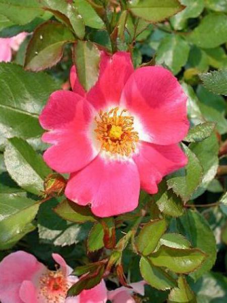 rosier couvre sol 39 pink meidiland 39 rosa polyantha le jardin du pic vert. Black Bedroom Furniture Sets. Home Design Ideas