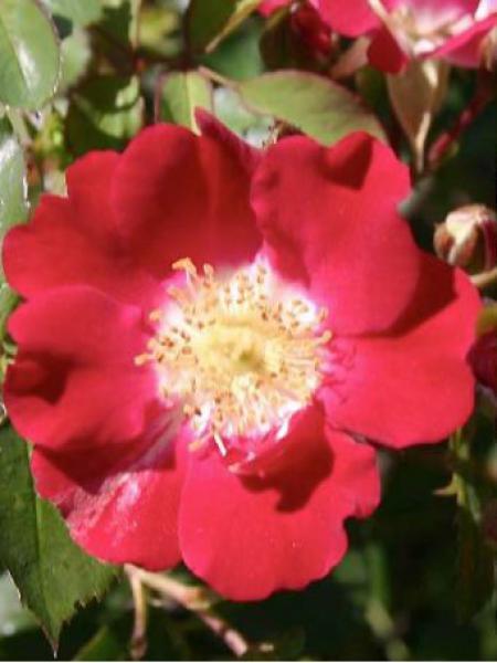 rosier couvre sol 39 red meidiland 39 rosa polyantha le jardin du pic vert. Black Bedroom Furniture Sets. Home Design Ideas