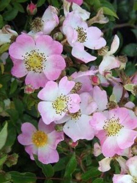 rosier couvre sol 39 tapis volant 39 rosa polyantha le jardin du pic vert. Black Bedroom Furniture Sets. Home Design Ideas