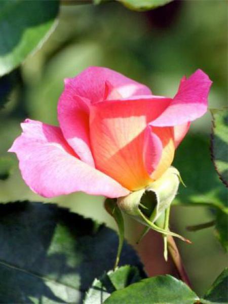 Rosier floribunda 'Zambra'